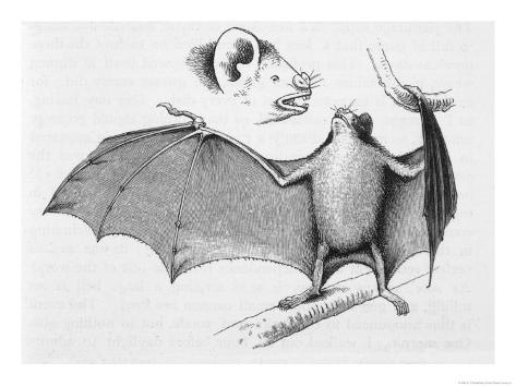 Vampire Bat (Desmodus d'Orbignyi) Caught at the Back of Darwin's House in Chile South America Giclée-Druck