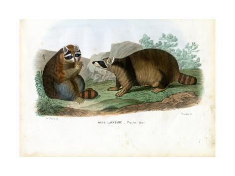 Raccoon, 1863-79 Giclée-Druck