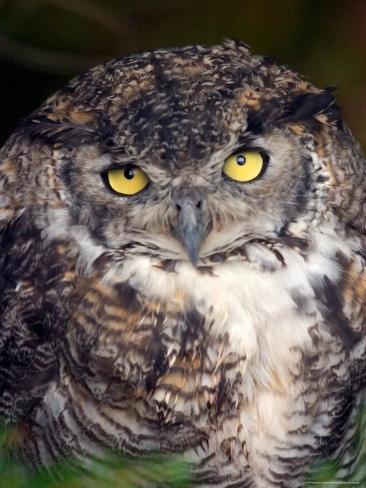 Big Yellow Eyes of the Screech Owl, Alaska Fotografie-Druck