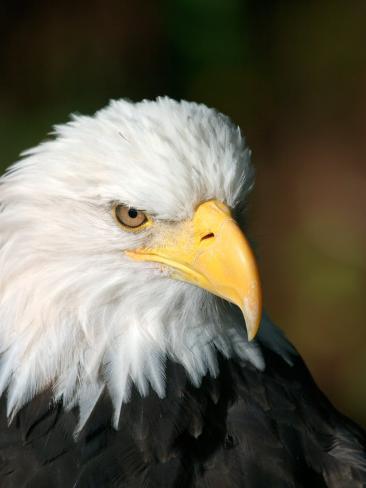 Close Portrait of a Bald Eagle, Alaska Fotografie-Druck