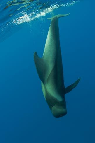 Shortfin Pilot Whale (Globicephala Macrorhynchus) Just Below the Surface, Canary Islands, Spain Fotografie-Druck