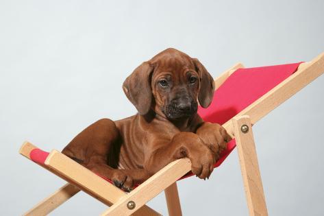 Rhodesian Ridgeback Puppy Asleep on Deck Chair Fotografie-Druck