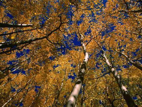 Aspen Trees, Aspen, Colorado, USA Fotografie-Druck