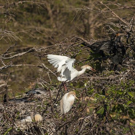 Cattle Egret with Chicks at Wakodahatchee Wetlands. Fotografie-Druck