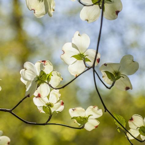 Dogwood Tree Flowers Fotoprint Van Richard T Nowitz Bij Allpostersnl