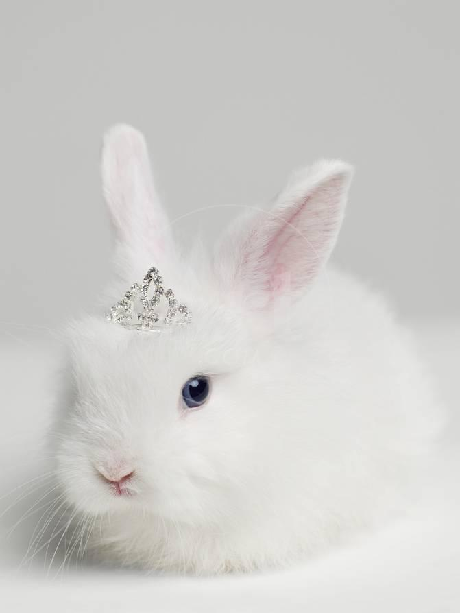 White Bunny Rabbit Wearing Tiara, close Up, Studio Shot Fotografie ...