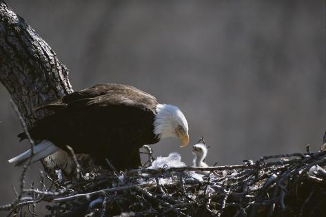 Amerikanischer Weißkopfseeadler und Küken Fotografie-Druck