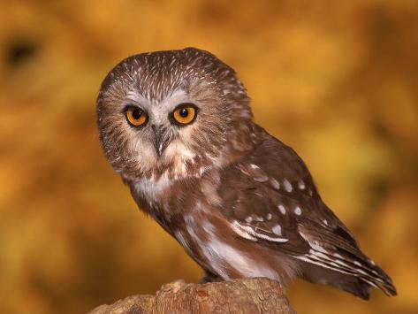 Saw-Whet Owl on Tree Stump Fotografie-Druck