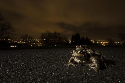 Common Toad (Bufo Bufo) and Common Frog (Rana Temporaria) in Amplexus in Urban Park Fotografie-Druck