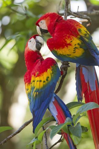 Scarlet Macaws, Costa Rica Fotografie-Druck