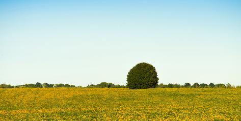 Scenic view of lone tree in canola field, Ontario, Canada Fotografie-Druck