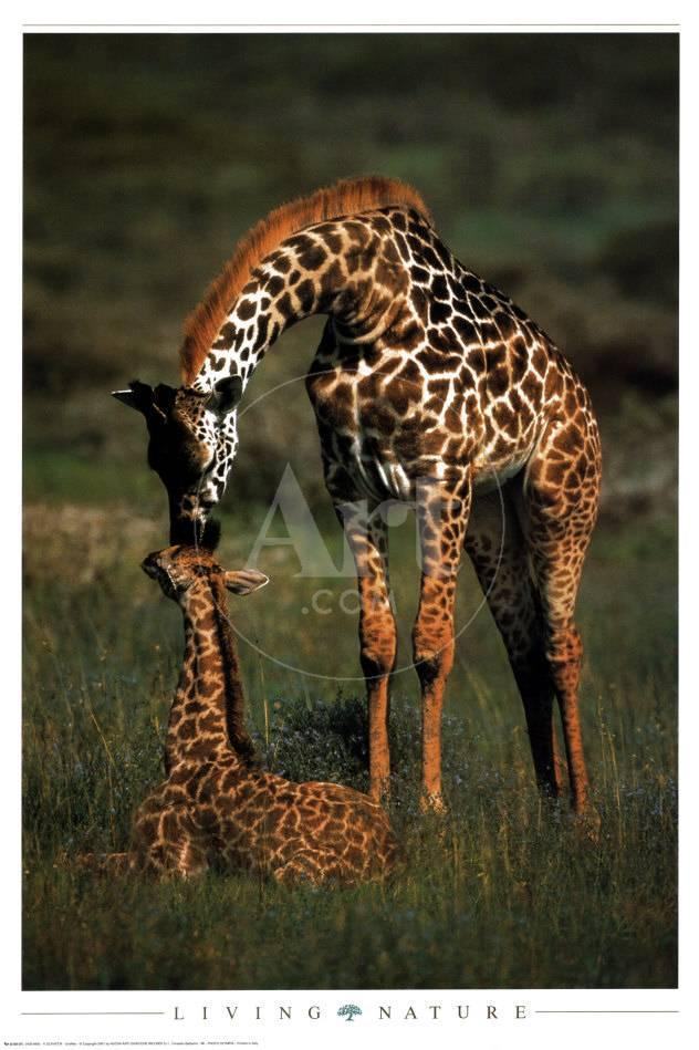 Giraffe Mother And Baby Posters Van Schaffer Bij Allpostersnl