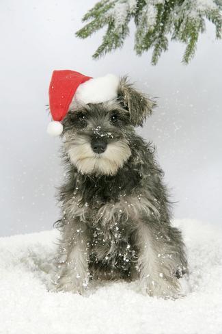 Schnauzer Puppy in Snow Wearing Hat Fotografie-Druck