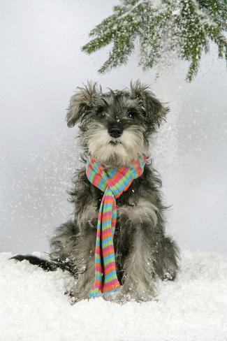 Schnauzer Puppy in Snow Wearing Scarf Fotografie-Druck