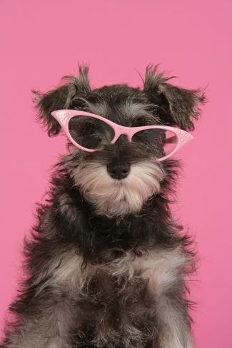 Schnauzer Puppy Wearing Pink Glasses Fotografie-Druck