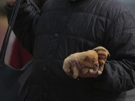 Dogs, One of Them Dyed to Look Like a Tiger, are Displayed for Sale on a Street in Nanjing Sonstiges