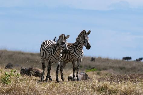 Plains Zebras Fotografie-Druck