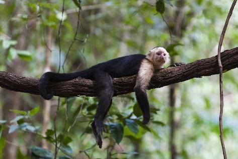 White-Faced Capuchin Monkey (Cebus Capucinus) Fotografie-Druck