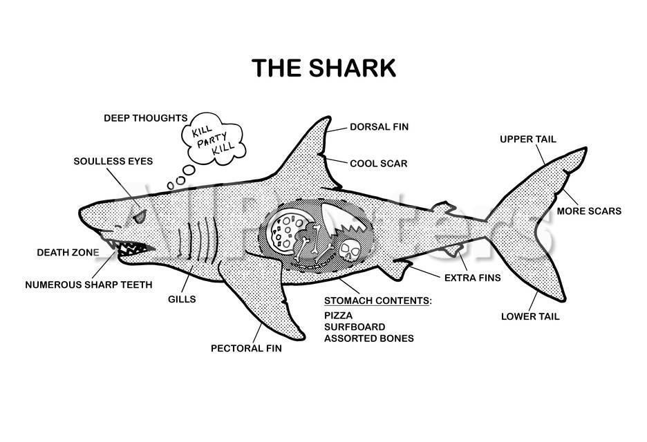 Shark Anatomy Diagram Print bij AllPosters.nl