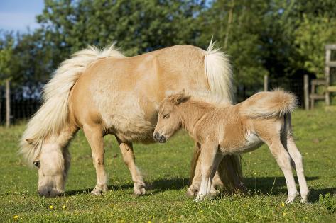Shetland Pony Adult and Foal Grazing in Field Fotografie-Druck