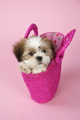 Shih Tzu 10 Week Old Puppy in Shopping Bag Fotografie-Druck