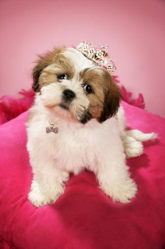 Shih Tzu 10 Week Old Puppy Wearing a Tiara Fotografie-Druck