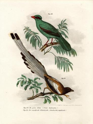 Short-Tailed Green Magpie, 1864 Giclée-Druck