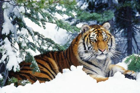 Siberian Amur Tiger Lying in Snow Fotografie-Druck