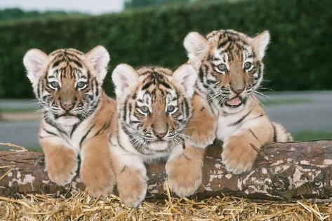 Siberian Amur Tiger Three Cubs Fotografie-Druck