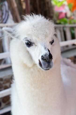 Alpaca at the Zoo in Closeup Fotografie-Druck