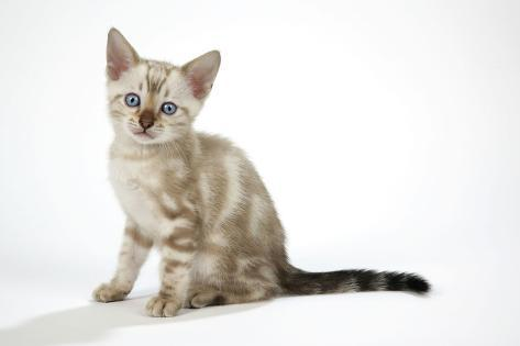 Snow Marble Blue-Eyed Bengal Kitten, 6 Weeks Old Fotografie-Druck