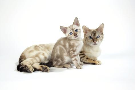 Snow Marble Blue-Eyed Bengal with Kitten, 6 Weeks Old Fotografie-Druck