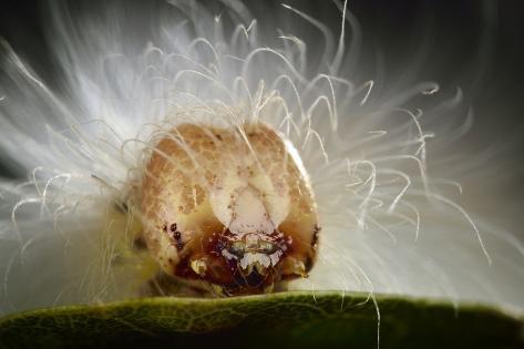 The Scarce Merveille Du Jour (Moma Alpium) Caterpillar with Urticating Hairs Fotografie-Druck
