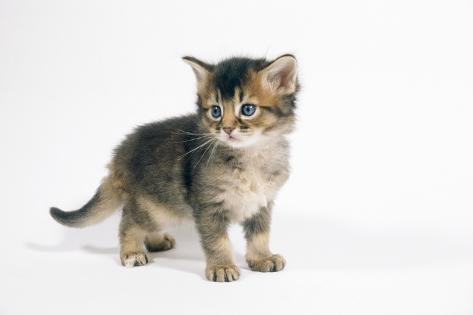 Somali Kitten, 4 Weeks Old Fotografie-Druck