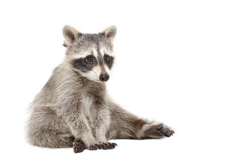 Cute Raccoon Fotografie-Druck