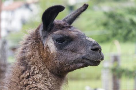 Lamas in the Farm Fotografie-Druck
