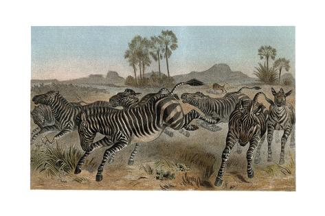 Zebras by Alfred Edmund Brehm Giclée-Druck