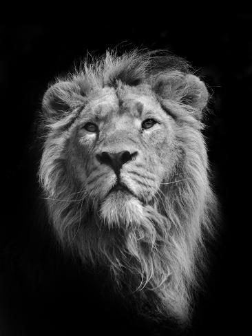 The King (Asiatic Lion) Fotografie-Druck