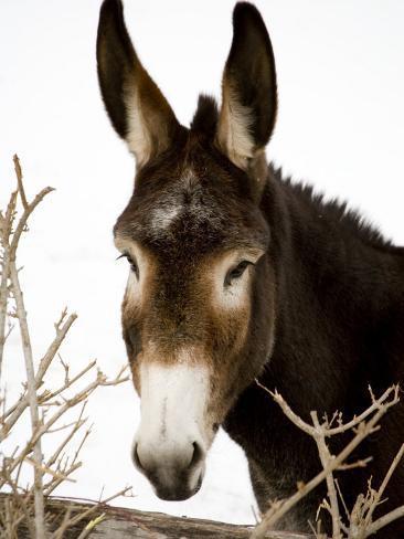 Portrait of a Mule in Fresh Snow Fotografie-Druck
