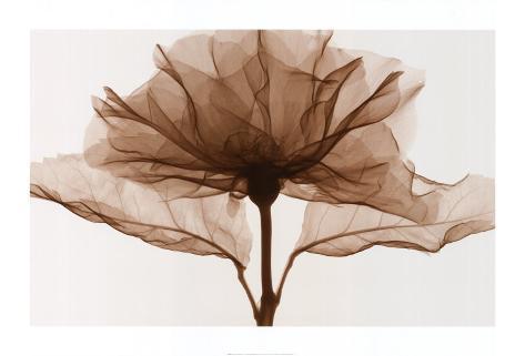 Eine Rose (Übergröße) Kunstdruck