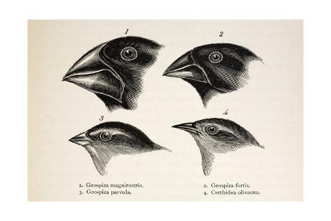 Darwin's Galapagos Finches Giclée-Druck