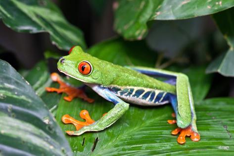 Red Eyed Tree Frog, Agalychnis Callidryas, Costa Rica Fotografie-Druck