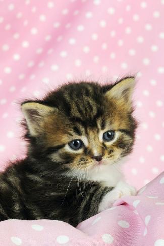 Tabby Kitten (6 Weeks Old) on Pink Background Fotografie-Druck