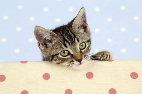 Tabby Kitten Fotografie-Druck