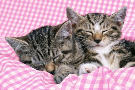 Tabby Kittens Asleep on Gingham Fotografie-Druck