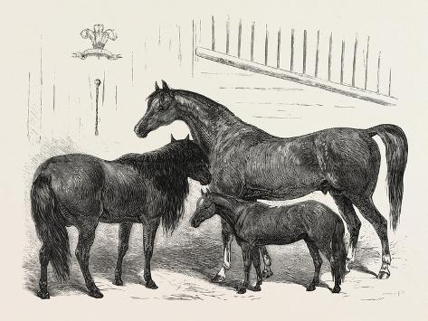 The Prince of Wales Indian Horses at the Agricultural Hall Horse Show. Cabulee Giclée-Druck
