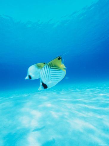 Threadfin Brtterflyfish Fotografie-Druck