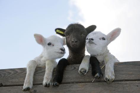 Three Lambs Looking over Fence Fotografie-Druck