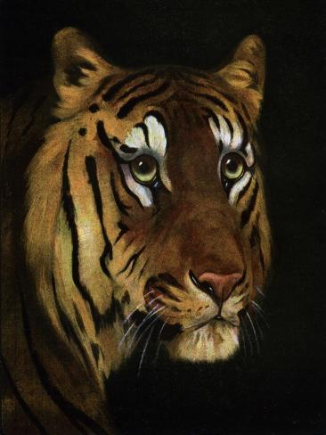Tiger Study, 1908-1909 Giclée-Druck