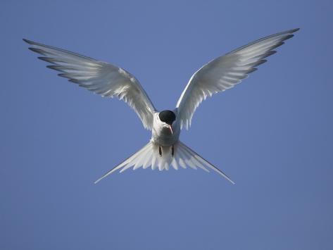 Arctic Tern in Flight Fotografie-Druck